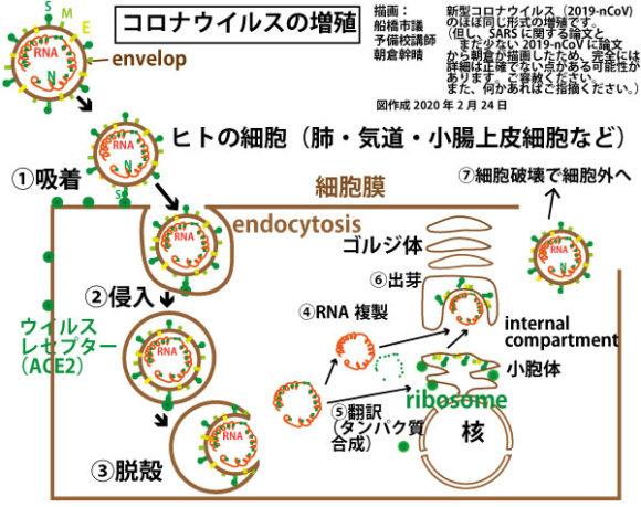 コロナウイルスの増殖